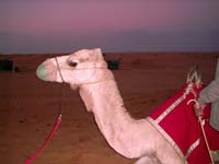 Don't forget the camel ride which is part of the attractions of a Desert Safari